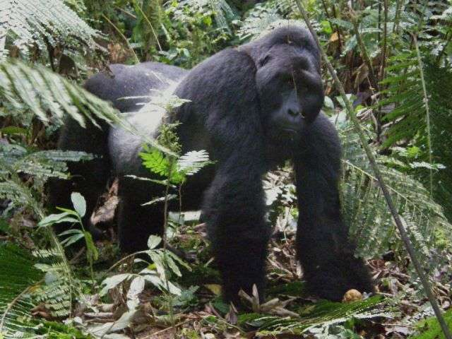 A large Silverback Mountain Gorilla