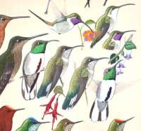 chilean-hummingbirds-detail