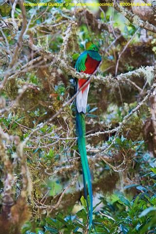 Resplendent Quetzal by AJS Jones