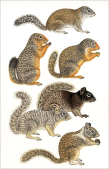 5 Large Ground Squirrels $ 400