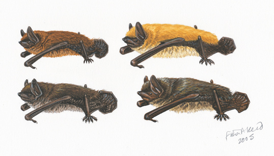 Four Myotis from the Peterson Field Guide  to Mammals of North America