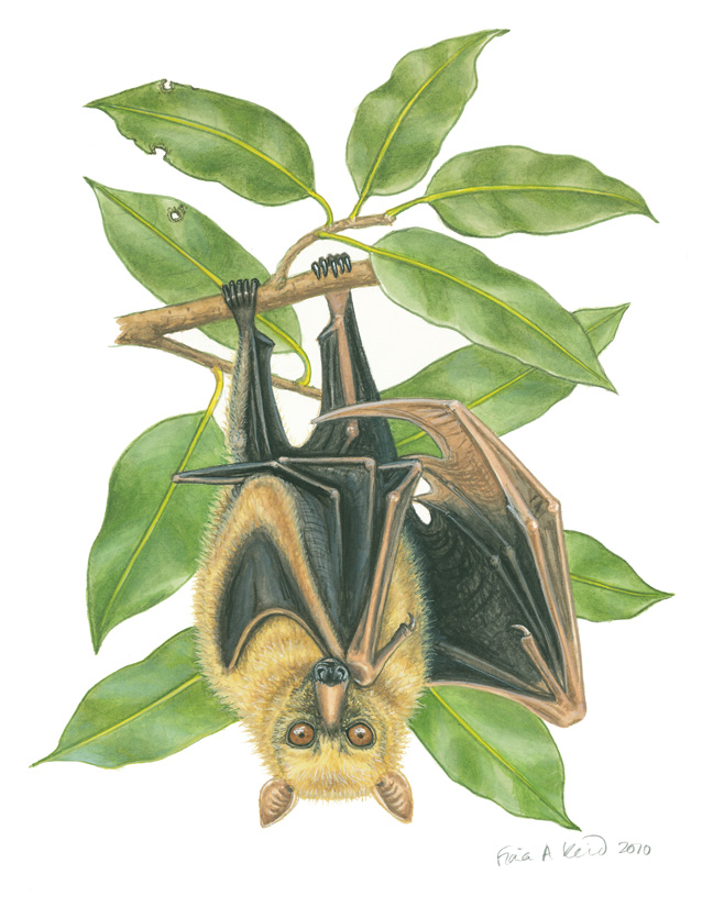 Sulawesi flying fox available as a print for $50. The original is SOLD