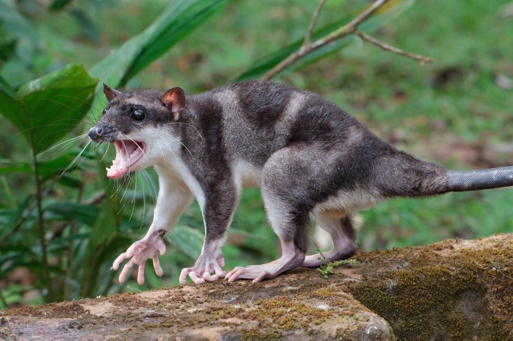 http://www.fionareid.ca/files/wp-content/uploads/2013/03/Water-Opossum-Alr.jpg