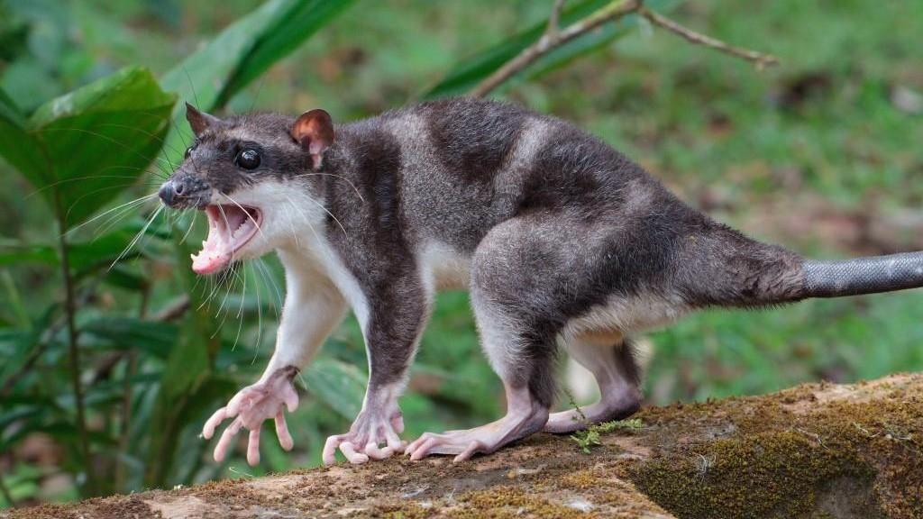 Water-Opossum-Alr