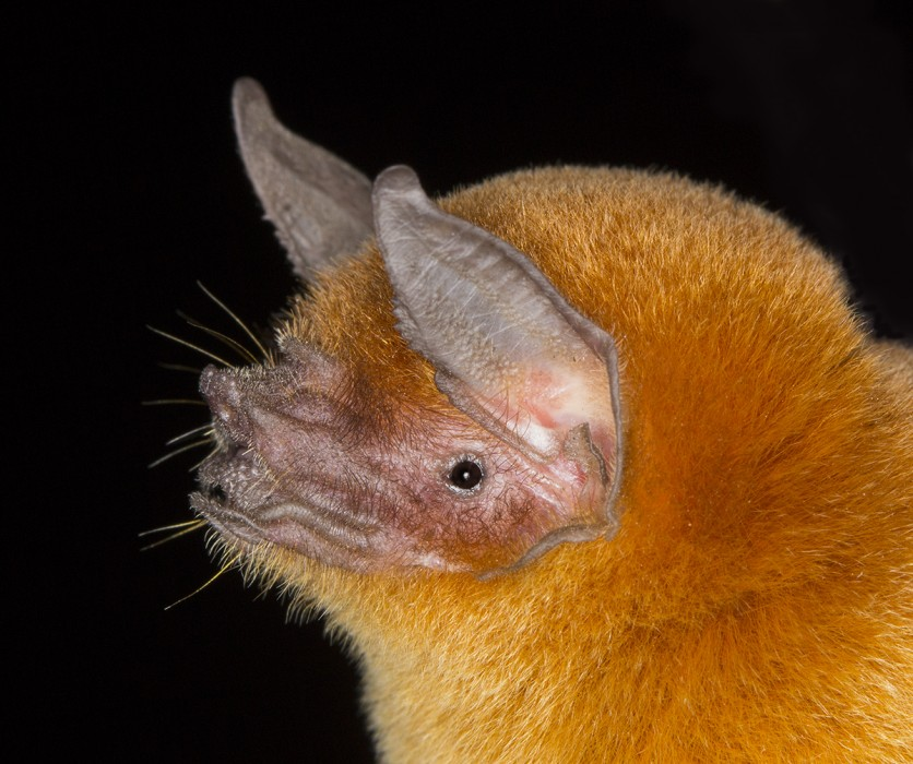 pteronotus personatus lr