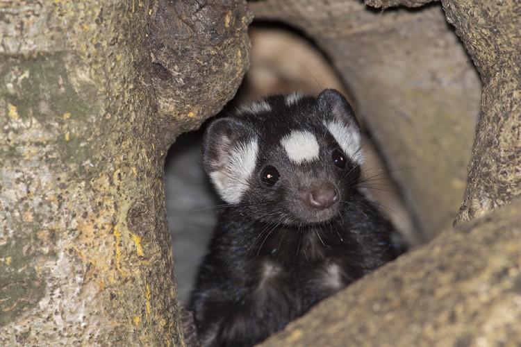 spotted skunk lr