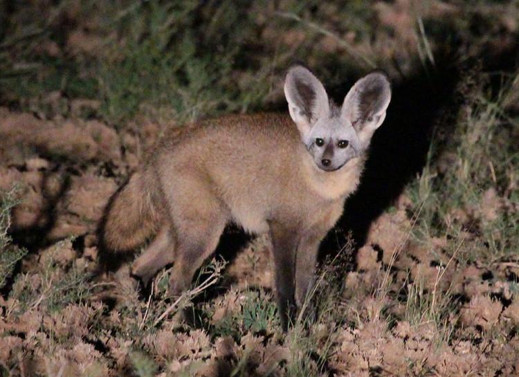 bat-eared fox03182015 (2) lr